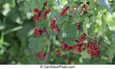 A bush with red berries
