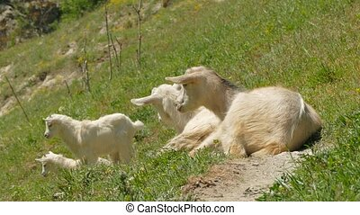 Mountain Goats Grazing On Green Pasture - In the frame there...