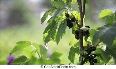 Ripe black berries