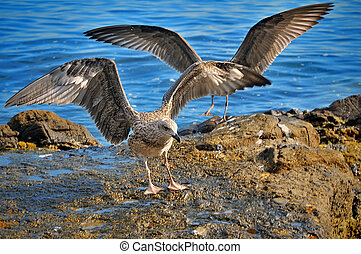 first flight of young seagulls on the coast