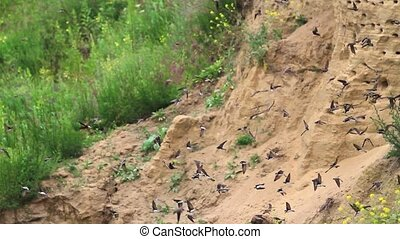 pack sand martins flying in circles,many birds,flock