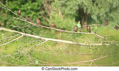 flock of different birds, bee eaters, starlings sparrow