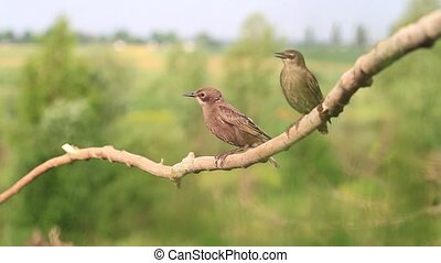 two young starlings sitting on a branch,summer, sunlight