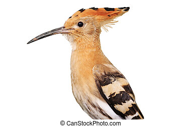 Portrait of a young hoopoe isolated on white