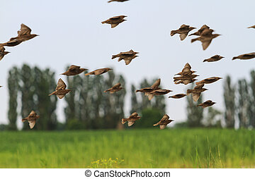 flock of starlings flying over  the field