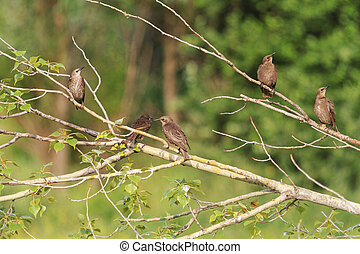Young flock of starlings sitting in a tree