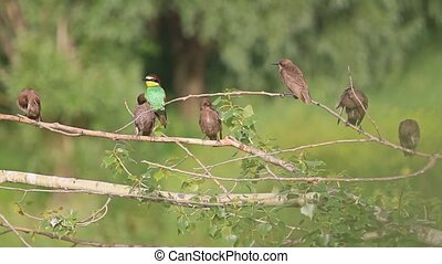 colored bird in a flock of black birds, bee eaters,...