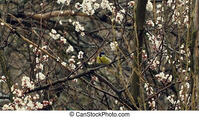 Little Bird on Blossom Tree - Blossom Tree Branches in...