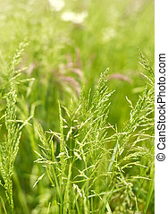 Field with selective focus - Green and pink grass on a...