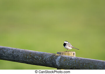 white wagtail on fence in the morning sun