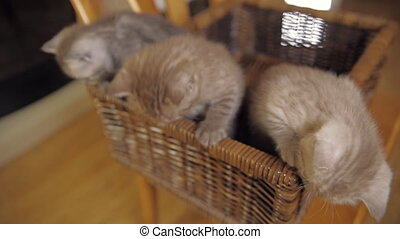 Three kitten sitting in a basket