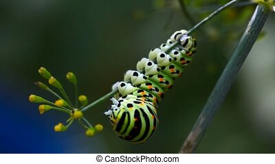 Caterpillar. - The caterpillar on a branch of fennel
