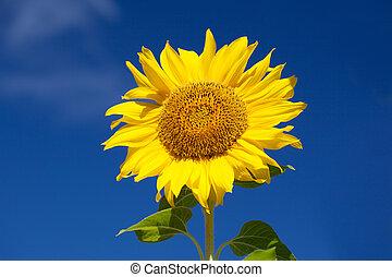 Summer scene about  sunflower.  Summer flower background.