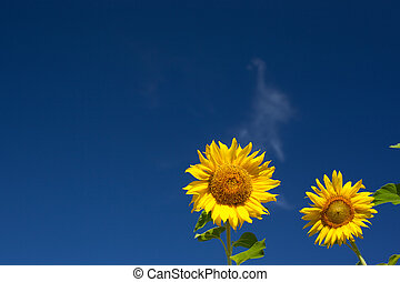 Summer scene about  sunflower.  Summer flower background.