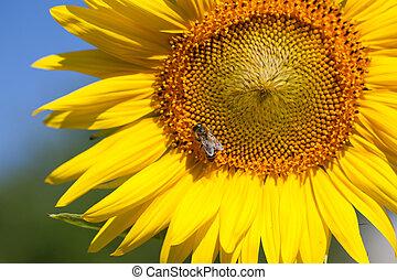 verão, cena, aproximadamente, abelhas, que, Polinize,...