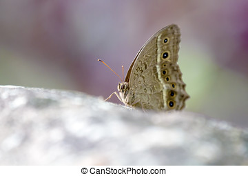 brush-footed butterflies,Satyrinae - brush-footed...