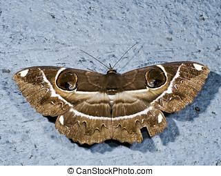 Owl Moth,Erebus ephesperis - Owl Moth perch on ground,Erebus...
