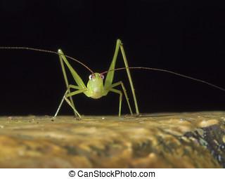 bush cricket,katydid,Tettigoniidae - portrait of a bush...