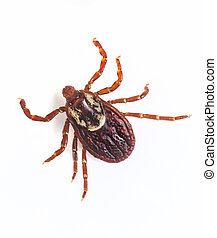 Deer tick on white - Extreme close up photo of adult female...