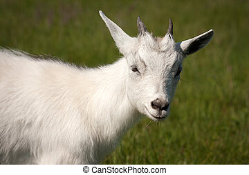 Goat animal - Cute white horned goat kid animal livestock...