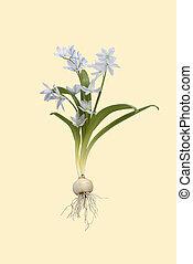 Vintage flower - Scilla on vintage background