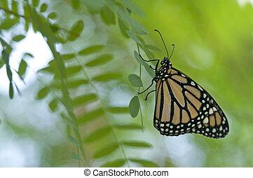 Siproeta stelenes butterfly on branch