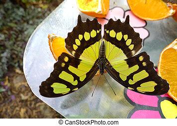 paper kite butterfly - Siproeta stelenes butterfly on...