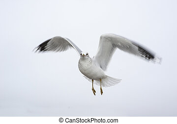 Hovering gull motion blurred wings - Intent gull hovers in...