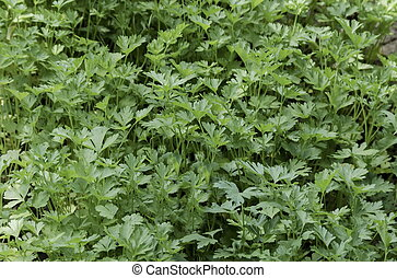 Parsley or Petrosilium sativum - Organic farming of parsley...