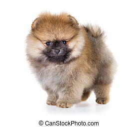 Pomeranian puppy isolated on a white background - Portrait...