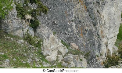 Mountain Goats Walking On Slope - Picturesque natural...