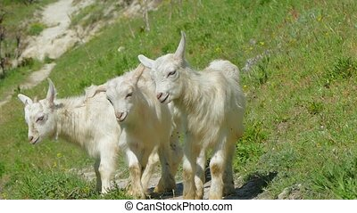 Three Mountain Baby Goats Walking On Green Slope - This is a...