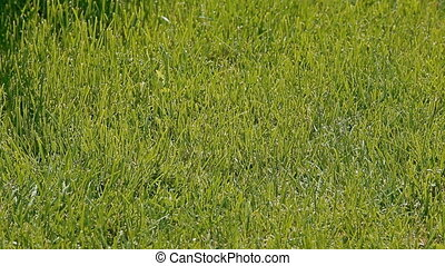 A trimmed green lawn - Green grass of a perfect even colour....