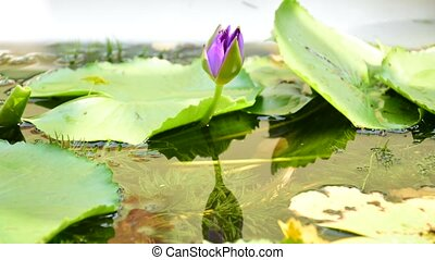Beautiful Lotus Flower, Timelapse - Beautiful Lotus Flower,...