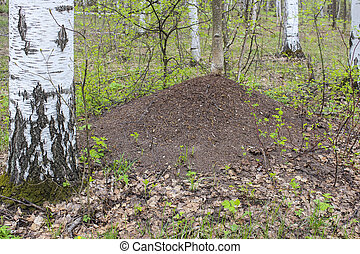 Anthill in the forest - The big anthill in spring forest...