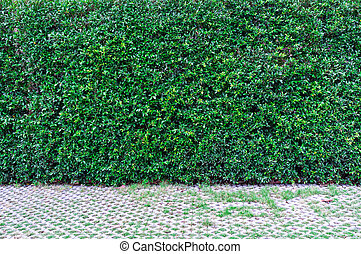 Green leaves wall background and walk way.