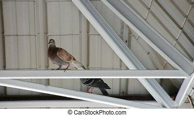 Bird Pigeon under roof - Bird Pigeon perched under roof beam