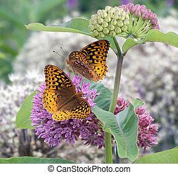 Great spangled fritillary butterfly - Two great spangled...