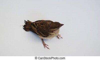 Bird Eurasian Tree Sparrow perched on white background