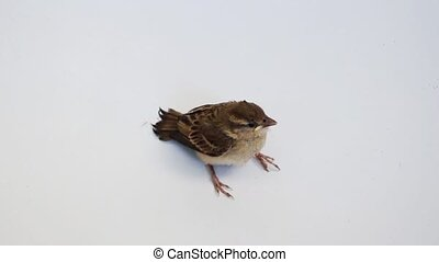Bird Eurasian Tree Sparrow perched on white background