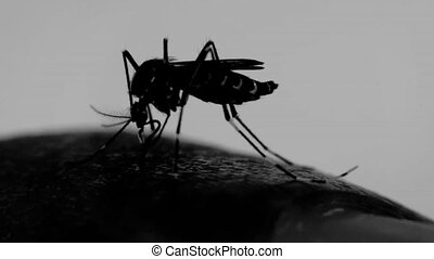 Macro of mosquito (Aedes aegypti) sucking blood, Silhouette...