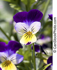 Johnny Jump Up (Viola Tricolor) - The Johnny Jump Up (Viola...