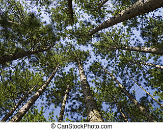 Conifer Canopy - Looking up into the pine tree tops in...