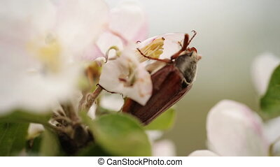 Brown cockchafer on flower background