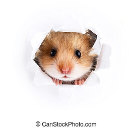 Little hamster looking up in paper side torn hole