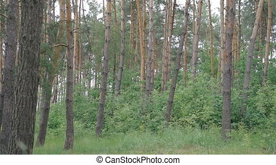 Big coniferous forest background