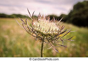 Weed - Wild Carrot . . . Daucus Carota