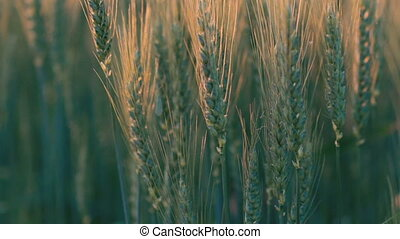 Close-up of green ears of wheat