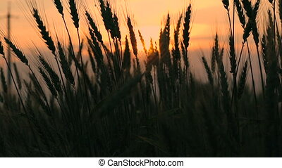 Ears of wheat on sunset background