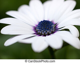 osteospermum blooming in the garden